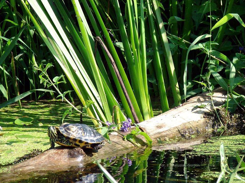 Żółw z czerwoną twarzą, czyli niechciany gość z Ameryki w Drwęcy - full image
