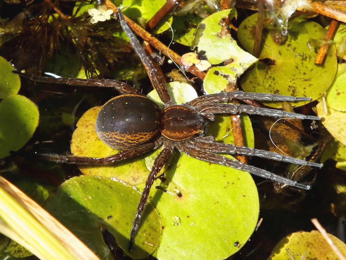 Bagnik nadwodny – już oficjalnie największy pająk w Polsce - full image