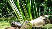 Żółw z czerwoną twarzą, czyli niechciany gość z Ameryki w Drwęcy