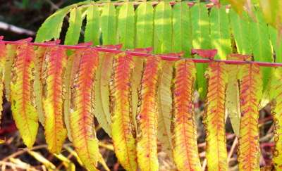 """Mazurska """"palma"""", czyli wielobarwny pióropusz sumaka octowca"""