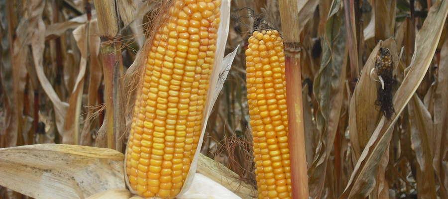 Wybierając odmiany do uprawy warto kierować się wynikami badań odmianowych przeprowadzonych przez Centralny Ośrodek Badań Odmian Roślin Uprawnych