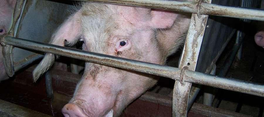 Na fermie i w gospodarstwie utrzymującym trzodę chlewną zasadą powinno być, że osoby spoza obsługi nie mogą dostać się w bezpośrednie sąsiedztwo pomieszczeń dla zwierząt lub do ich wnętrza