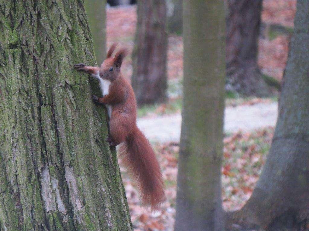 Wiewiórka z łatwością wspina się i biega na drzewach - full image