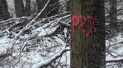 Trwa wycinka lasu pod łącznik z obwodnicą Olsztyna. Pod topór idą duże drzewa