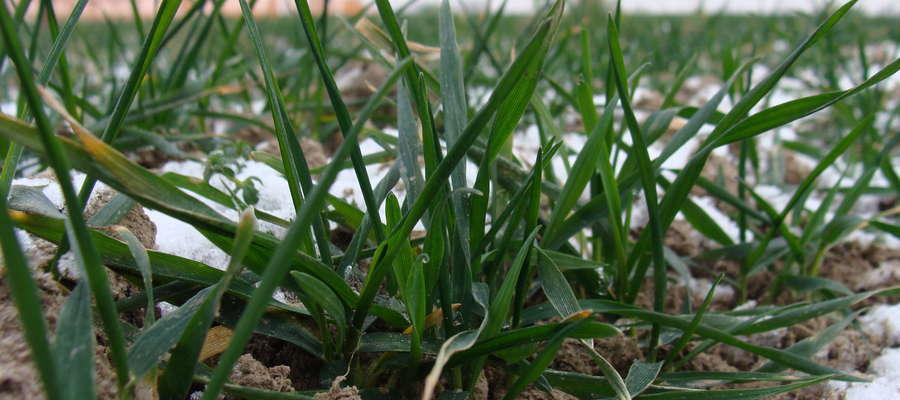 W-MODR Olsztyn, oddział w Olecku informuję, że jesienią 2016 r. zasiano na terenie Warmii i Mazur 251 130 ha  zbóż ozimych