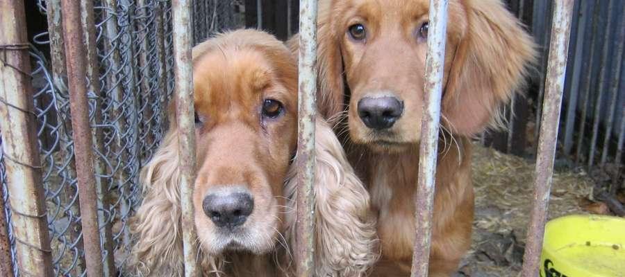 Po hucznej sylwestrowej nocy wiele psów, które się zgubiły podczas ucieczki,  trafia do schroniska