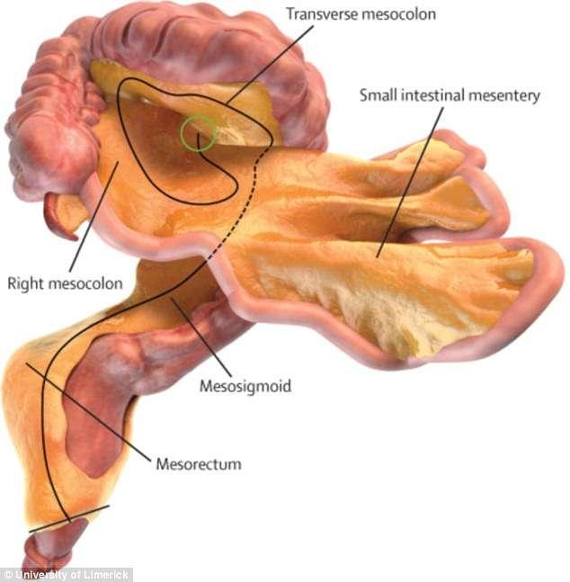 Naukowcy odkryli nowy organ w ludzkim ciele - full image
