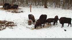 Żubry podczas karmienia
