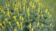 Doskonały przedplon dla zbóż, roślin przemysłowych i okopowych