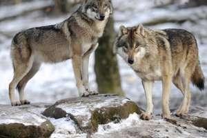 Tropem wilków