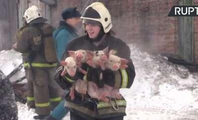 Setki świń i prosiaków uratowanych w pożarze