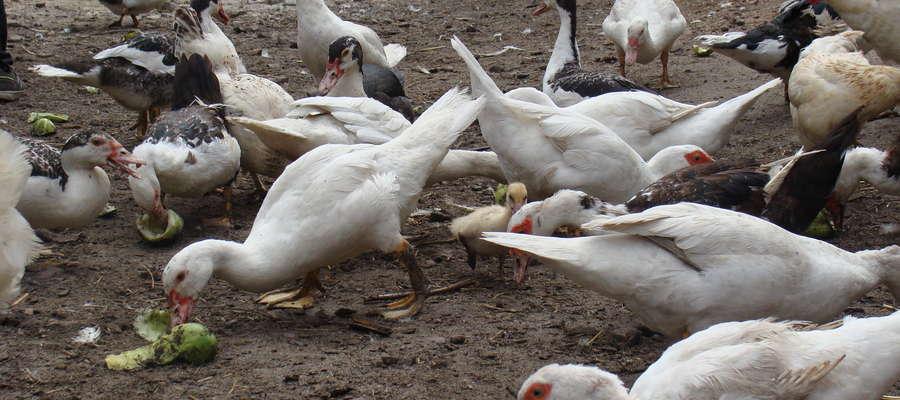 Służby weterynaryjne wdrażają w gospodarstwach wszystkie procedury zwalczania, przewidziane w przypadku wystąpienia wysoce zjadliwej grypy ptaków u drobiu