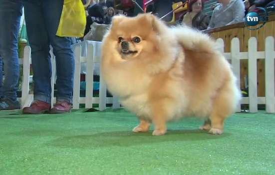 Przepiękne psy na wystawie psów w Lesznie - full image