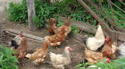 Co każdy powinien wiedzieć o ptasiej grypie?