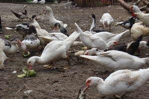 Powiat nidzicki zagrożony ptasią grypą