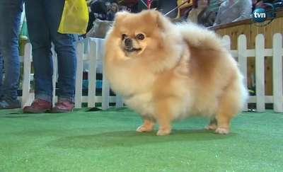 Przepiękne psy na wystawie psów w Lesznie