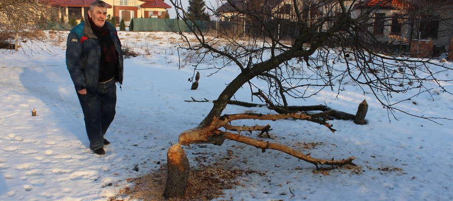 Większość drzewek na działce Romana Welenca zostało ścięte przez bobry