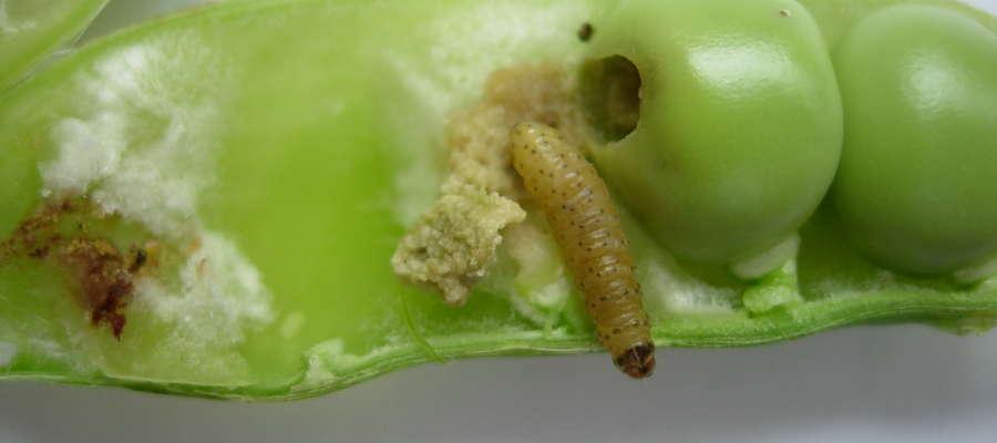 Larwa pachówki żerująca na nasionach grochu