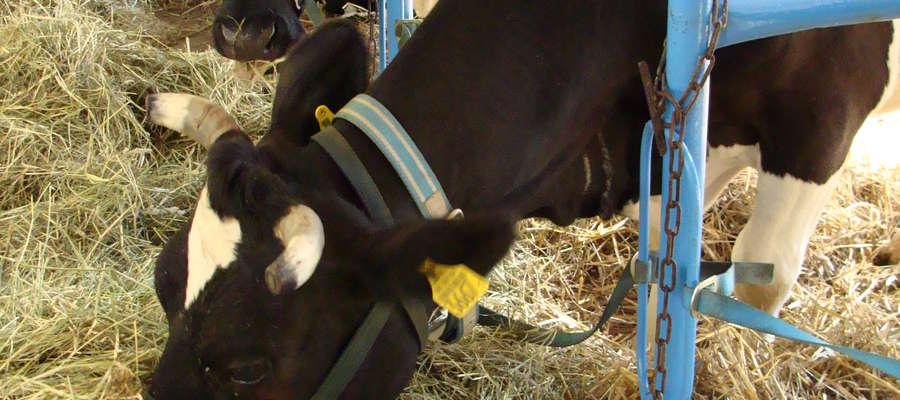 Jednym z założeń projektu EBP jest zapewnienie polskim hodowcom przyszłych pokoleń krów, które podniosą możliwości produkcyjne i zyskowność gospodarstw przy relatywnie niskich nakładach inwestycyjnych w remont stada