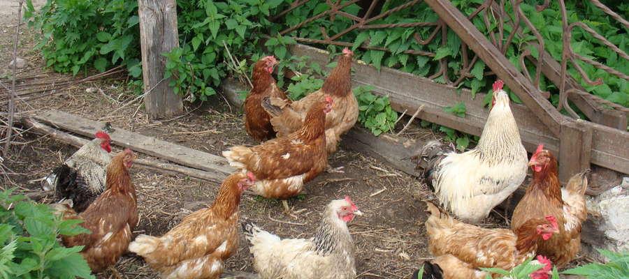 Wirus wysoce zjadliwej grypy ptaków (HPAI), podtypu H5N8 — nie jest groźny dla ludzi