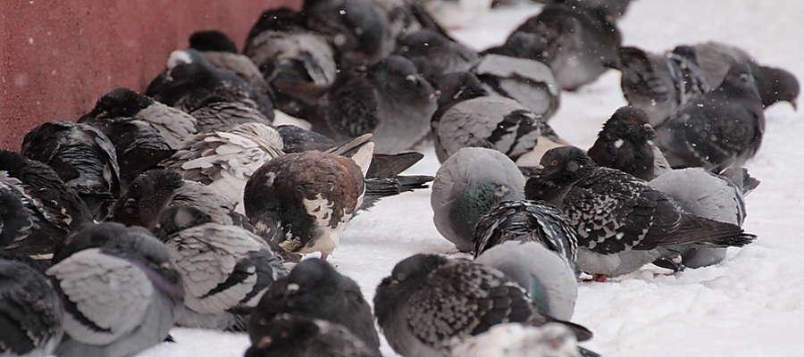 Gołębie kryjące się przed śniegiem i wiatrem
