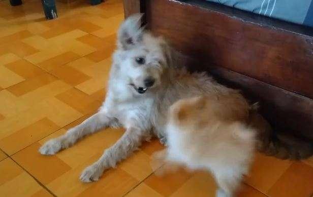 Szczeniak przekomarza się ze swoją starszą psią siostrą - full image