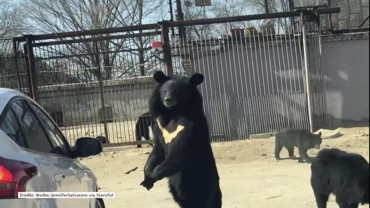 Niedźwiedź w parku przyrodniczym w Pekinie próbował dostać się do samochodu turystów - full image