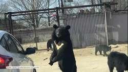 Niedźwiedź w parku przyrodniczym w Pekinie próbował dostać się do samochodu turystów