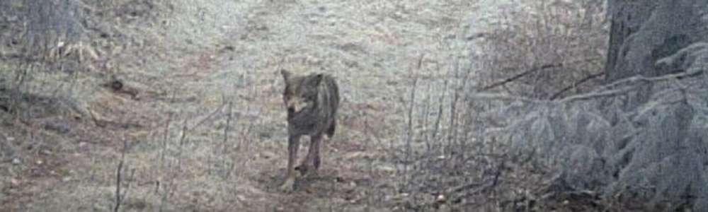 Wilk jaki jest - każdy zobaczyć może