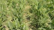 Czy warto nawozić rośliny strączkowe?