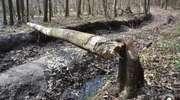 Uwaga! Wycinka drzew na rowerowym szlaku Green Velo koło Elbląga