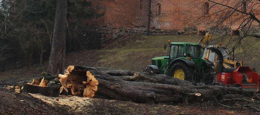 Drzewo tuż po ścięci z wyraźnym wypróchnieniem w środku