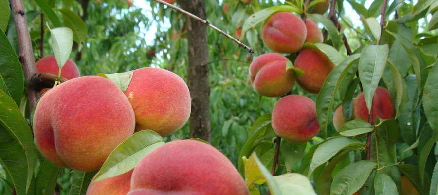 Straty w drzewach owocowych będą szacowane dwukrotnie