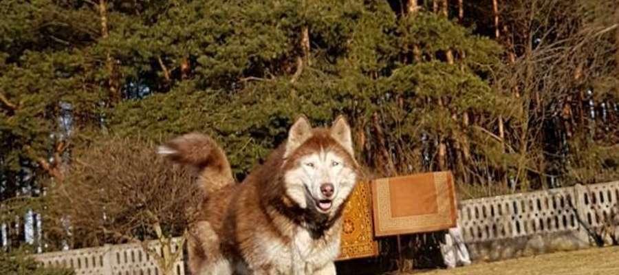 """Czy Aron, pies po przejściach znajdzie nowy dom? Na razie przebywa """"Kudłate Ranczo"""" w Jaworznie"""