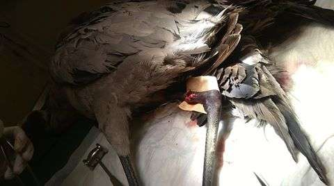 Z nogi żurawia wyjęto kawałki śrutu, ale ptak był mocno osłabiony i niestety nie przeżył - full image