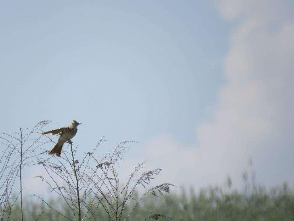 Wiosenne trele skowronka polnego - full image