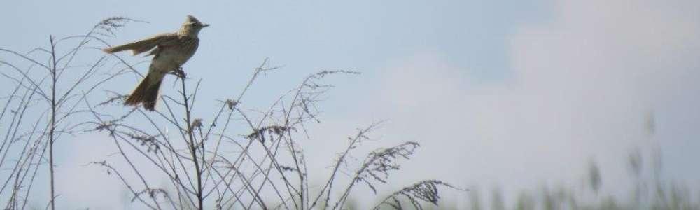 Wiosenne trele skowronka polnego