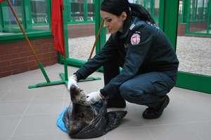 Próbował wwieźć surową, niewyprawioną skórę wydry