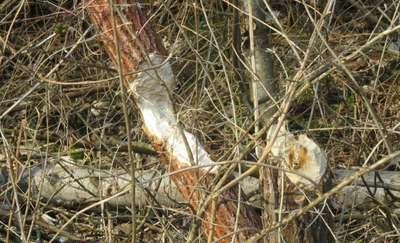 Mazurskie bobry ostrzą siekacze