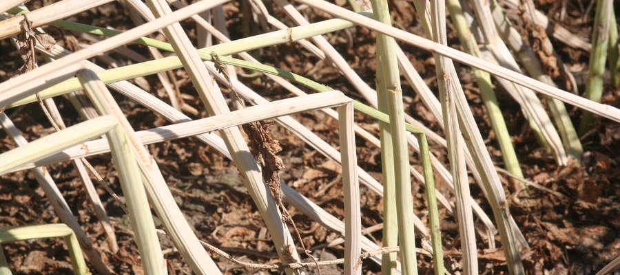 Brak chemicznej ochrony na wiosnę i w czasie kwitnienia rzepaku może powodować straty w plonie nasion wynoszące 30-50 proc. potencjalnego plonu. Zgnilizna twardzikowa rzepaku