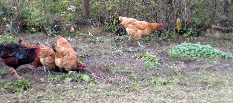 Od 6 kwietnia można wypuszczać drób na podwórka, jednak należy to robić wyłącznie na terenie ogrodzonym