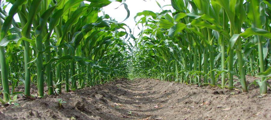 Priorytetem każdego producenta powinno być skuteczne wyeliminowanie roślin chwastów z plantacji, na samym początku wegetacji kukurydzy