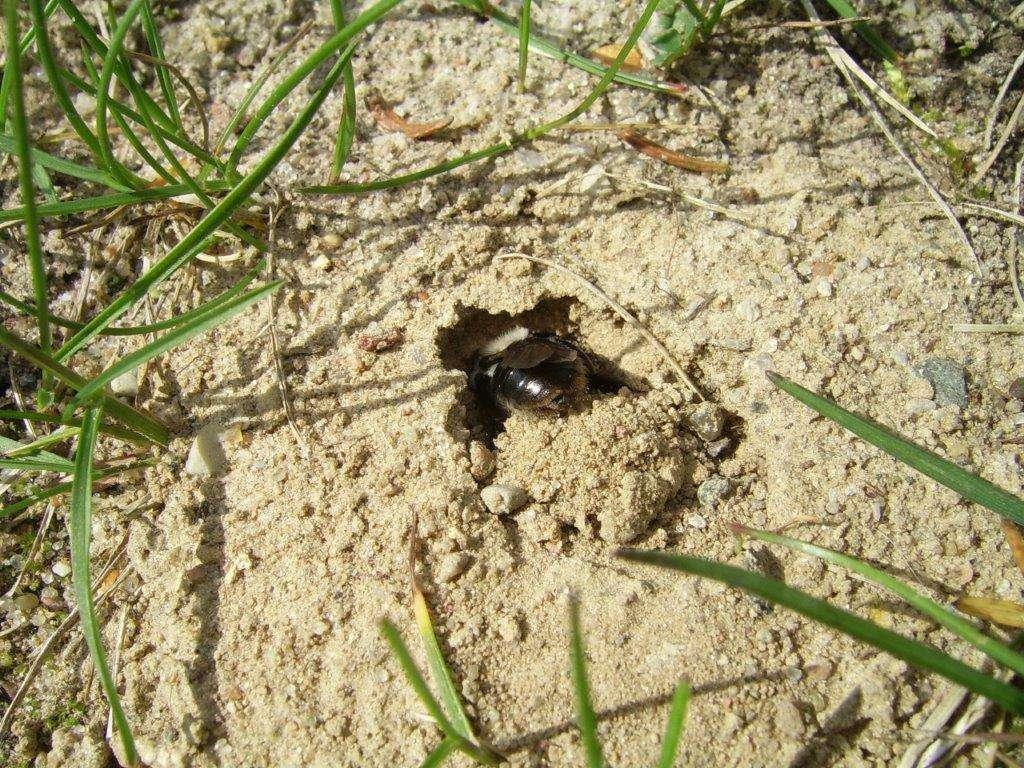 Pszczolinka kopie norkę i wyrzuca piasek za siebie - full image
