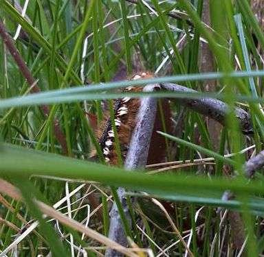 Napójka łąkówka czyli ciemna strona warmińskiego Wójtowa  - full image