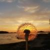 Zdjęcie Tygodnia. Dmuchawiec rozświetlony zachodzącym słońcem