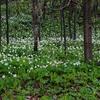 Zdjęcie Tygodnia. Kwitnące poszycie lasu