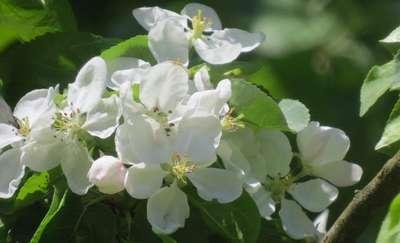 Niech no tylko zakwitną jabłonie