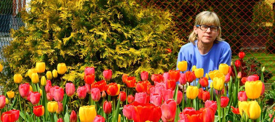 Pani Lucyna Jastrzębska z Nawry wśród tulipanów w przydomowym ogródku