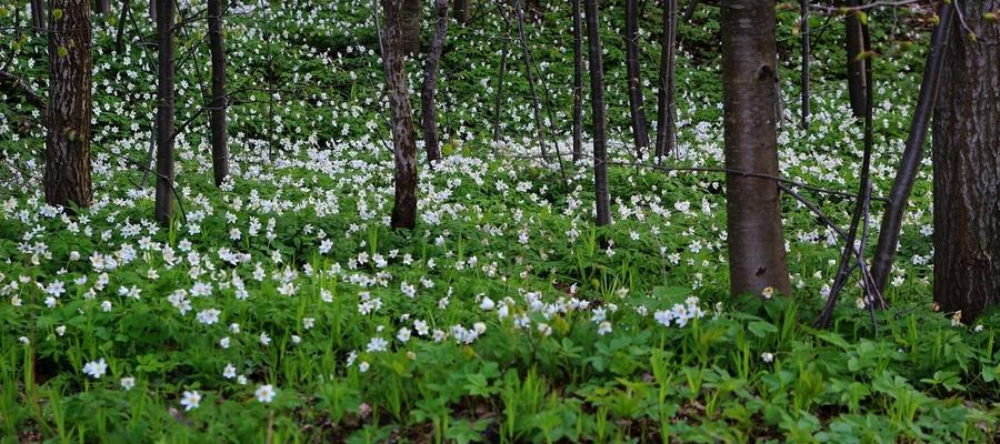 Kwitnące poszycie lasu koło Bisztynka