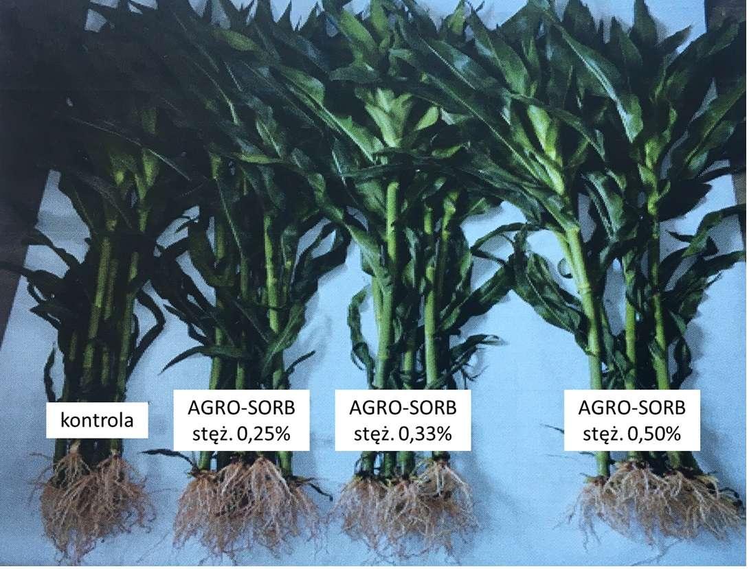 Zbiór pośredni roślin kukurydzy w dniu 27.06.2016 r. w ramach przeprowadzonych badań (IUNG-PIB Puławy, 2016). Kukurydza w fazie 8-9 liścia (18-19 wg. Skali BBCH), po 3 opryskach testowanym nawozem